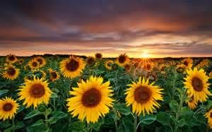 Sunflowers mark you HapPy!