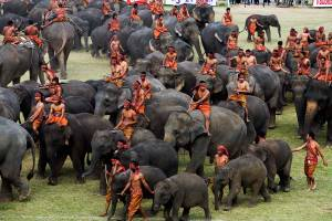 Elephants round up festival in surin Thailand, On 17-18 November 2014