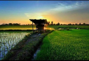 Stunning sunset over rice fields in Maung surin - Thailand.