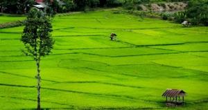 Rice fields in Thailand!