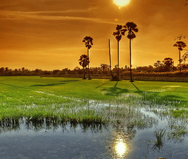 Stunning sunset over Jasmine rice fields @ Surin - Thailand.